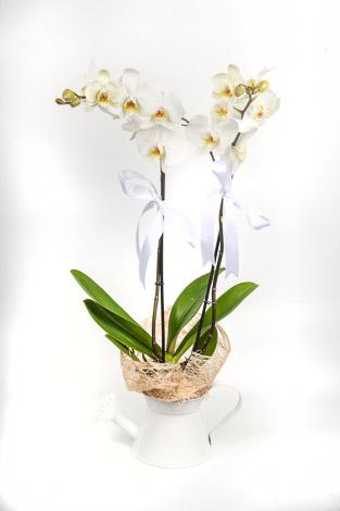 jardin vazoda çifli beyaz orkide