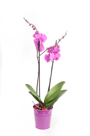 jardin vazoda çifli mor orkide
