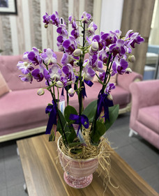 6 Dallı Pembe Orkide