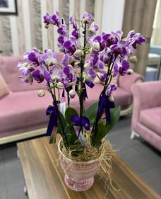 6 Dallý Pembe Orkide