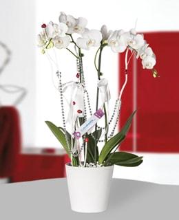 �iftli Phalaenopsis Orkide