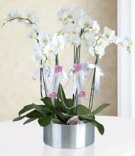 6 Dal Phalaenopsis Orkide