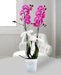 Çiftli Çok Özel Mor Orkide