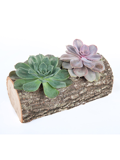 kütükde muz kaktusu