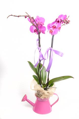 demlikde fujya çifli orkide