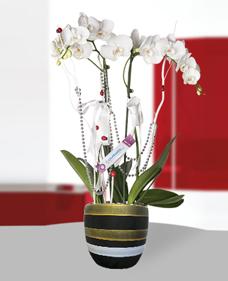 Çiftli Phalaenopsis Orkide