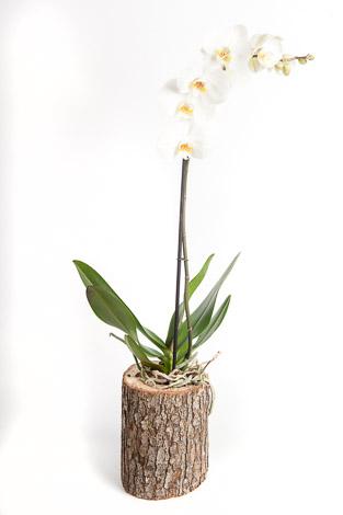 kütükde orkide
