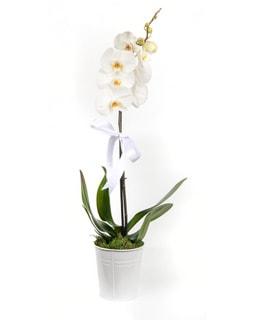 jardin vazoda tekli orkide