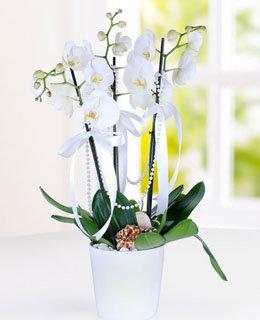 Üçlü Beyaz Penolopsis Orkide